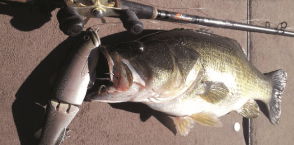 Big trout baits mean big bass, even some that just think they're big enough to swallow a swimbait resembling a stocked trout. (ACTION JACKSON FISHING)