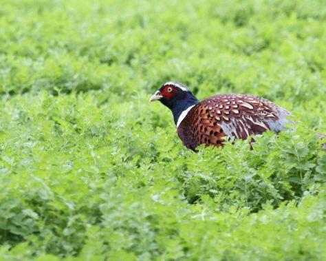 Pheasant decline 4