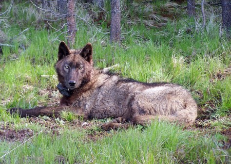 OR25, a yearling male in the Imnaha Pack, after being radio-collared on May 20, 2014. Photo courtesy of ODFW.