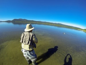 Rick Serini hooks up with a Lake Davis trout while sight fishing during the damselfly hatch. (JOHN BAIOCCHI)