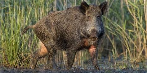 Wild-Hog2
