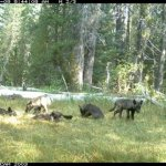 CDFW Releases Final Wolf Conservation Plans