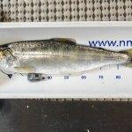 Trying To Make Sense Out Of Salmon Behavior Through Technology