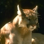 A Possible Mountain Lion Sighting… In My Hometown