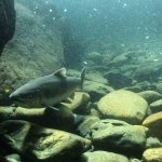 California Native Fish Could Be In Peril, Says Previously Unreleased Document