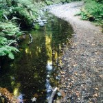 Coho Numbers Struggling In Marin County Creeks