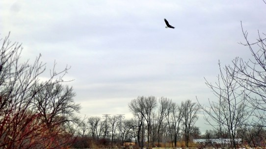 bald eagle rises from a tree and flies to the other side of the lake