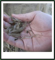 Handful of grass shrimp.