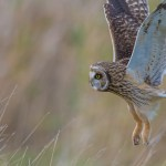 Hunting Short-eared Owl