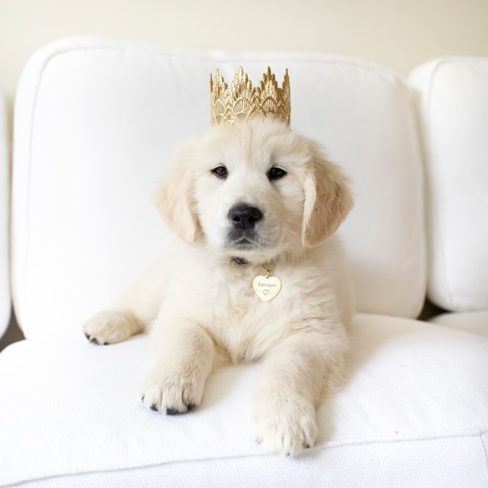 download the puppy socialization checklist. 8 week old golden retriever puppy in a box. Puppy announcement photo. Puppy wearing a crown and looking at the camera.