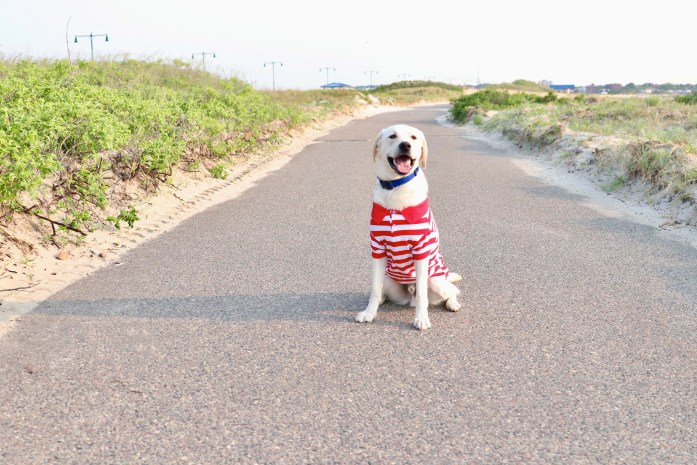 dog wearing a red and white striped polo in massachusetts beach