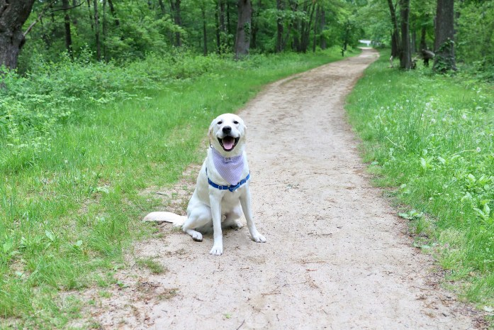 labrador retriever sitting on the minute man trail