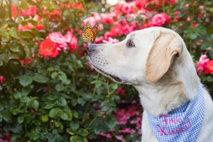 butterfly on dogs nose in portland rose test garden