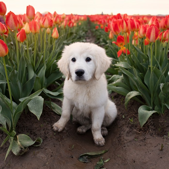 puppy with flower tulips