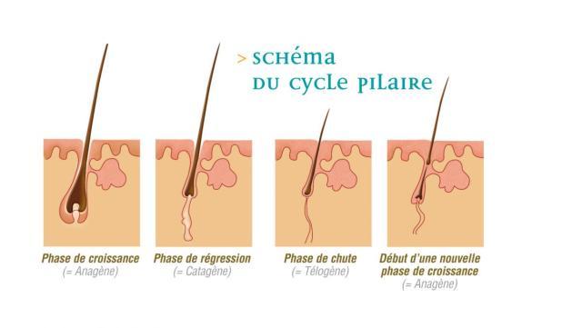 schéma du cycle pilaire