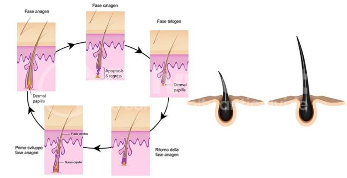fisiologia capello