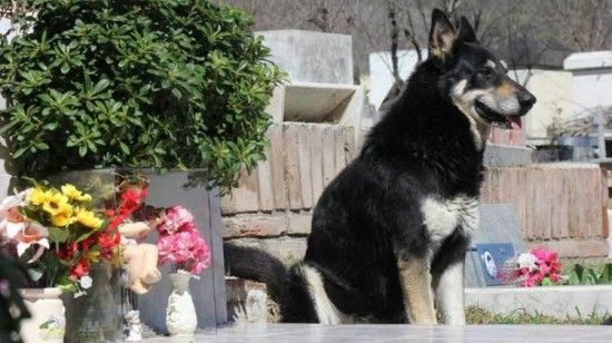 Every single night since 2006, 'Capitan' has slept beside the headstone of his master's grave.