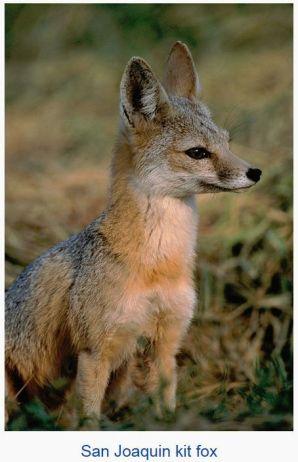 kit fox - wikimedia