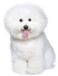 Bichon Frise dog sitting