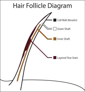 Hair Follicle Diagram