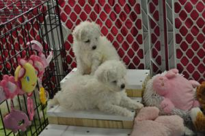 Bichon Frise Puppies playing