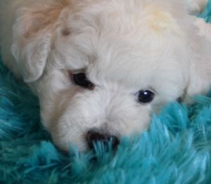 Sinclair Male Bichon Frise