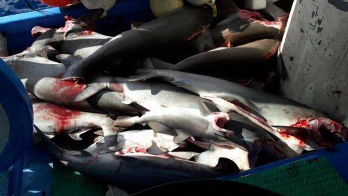 Costa Rica arrasa con tiburones: más de quinientos kilos de aletas de tiburón en CENADA