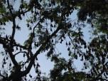 fruit-bats-roosting