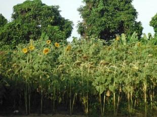 winery-sunflowers