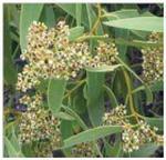 C107 San acuminatum