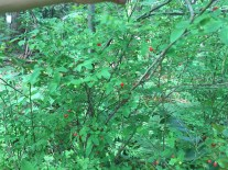 Huckleberries in the outdoor classroom. Students learn that they are edible and delicious.