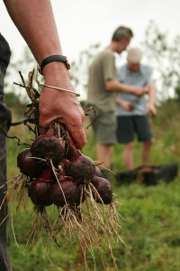 Red-onions-Camel-CSA 09-08-09