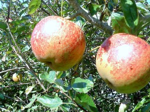 apples-Lord-Hindlipp 10-09-09 cropped