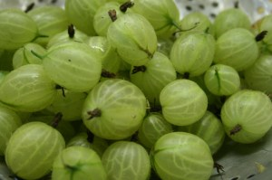 gooseberries-camel csa-170611
