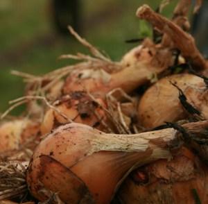 onions-camel csa