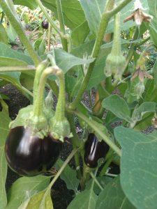 aubergines-camelcsa-020911