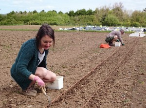 onion_set_planting-camelcsa-040514