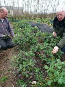 red-russian -kale-picking-camel csa-0315