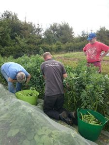broad-bean-picking-camelcsa-070815