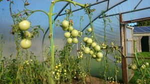green-tomatoes-polytunnel-camelcsa-221015