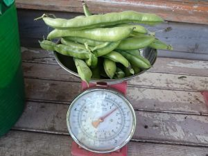 broad-beans-scales-camelcsa-0516