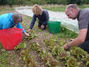 picking-lettuce-leaves-camelcsa-140716