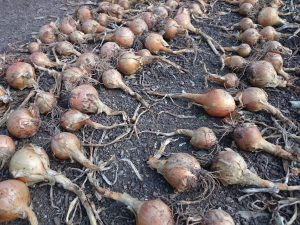 onions-camelcsa-0816