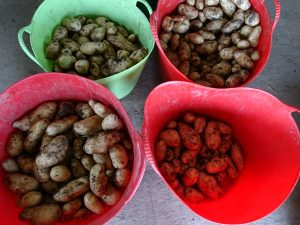 new-potatoes-trugs-camelcsa-070717