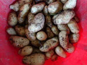 new-potatoes-camelcsa-070717