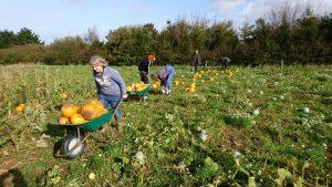 pumpkin-harvest-camelcsa-231017/2