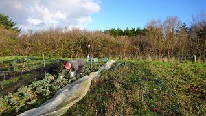 kale-harvesting-camelcsa-011217