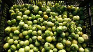 green-tomatoes-camecsa-121118
