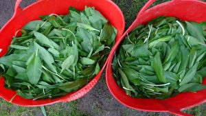 wild-garlic-trugs-camelcsa-080319