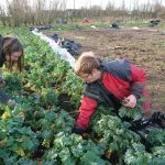 harvesting-red-russian-kale-camelcsa-030120